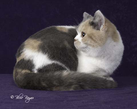 Brits and Folds | Austin, Texas Cattery – British Shorthair